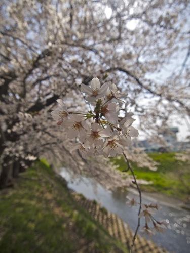 2012sakura4.jpg